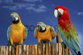 ara, true parrots, psittacidae