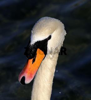 Portrait eines Höckerschwans
