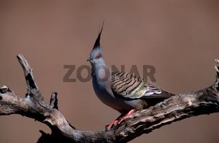 spitzschopftaube, ocyphaps lophotes, crested pigeon