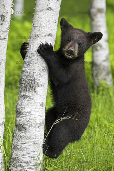 American black bear, cub, Baribal, Ursus americanus, Black Bear, Jasper National Park, Canada, Canada, cub