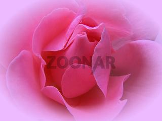 Rosa Rose - pink rose