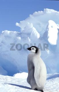 Emperor penguin, Kaiserpinguin, Aptenodytes forsteri, Antarktis, Antarctica, Dawson-Lambton Glacier