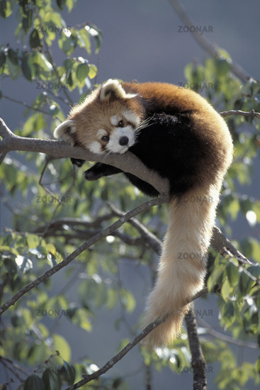 Red Panda, Wolong Valley, Wolong Tal, Himalaya, China