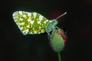 Euchloe ausonia, Ausonia-Weißling