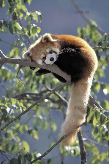 Red Panda, Wolong Valley, Wolong Tal, Himalaya, China