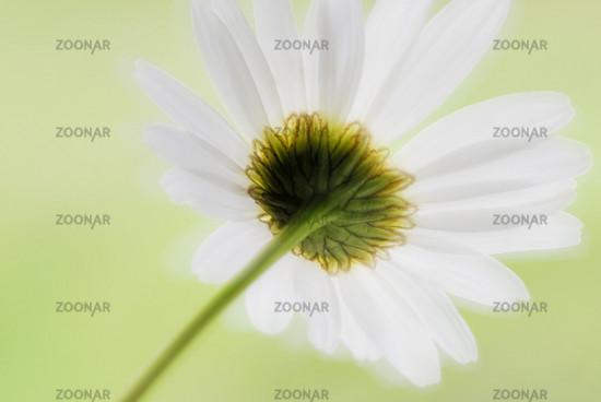 magerite, wiesen-margerite, magerwiesen-margerite, leucanthemum vulgare, oxeye daisy, marguerite blume, flower