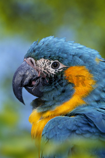 blaukehlara, ara glaucogularis, blue-throated macaw, kaninde, Guacamayo Barbazul, Blue throated Macaw, Blue-throated Macaw, Caninde Macaw, Wagler's Macaw