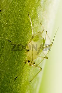 Blattlaus auf Aloe Vera