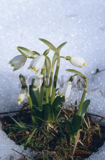 fruehlingsknotenblume, fruehlings-knotenblume, leucojum vernum, maerzenbecher, maerzbecher, grosses schneegloeckchen, niveole de printemps, spring-snowflake