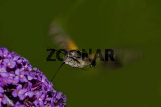 Taubenschwänzchen Macroglossum stellatarum,