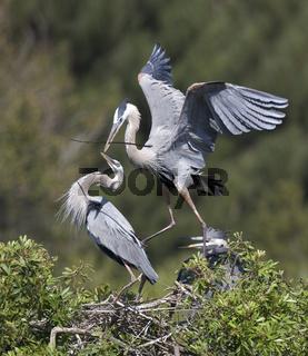 kanadareiher, nordamerika-reiher, ardea herodias , northwestern coast heron, san lucas heron