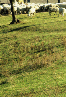 Val d'Orcia Orcia valley Tuscany Toscana, Flock of sheep grazing on pasture