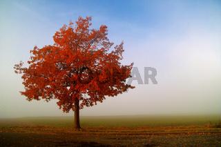Eiche im Herbst