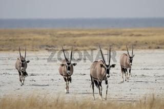 Oryx-Antilopen (Oryx gazella); Gemsbok