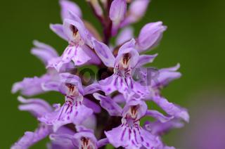 Geflecktes Knabenkraut, Dactylorhiza maculata