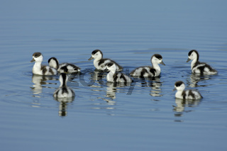 Brandgans-Kueken, Shelduck chicks
