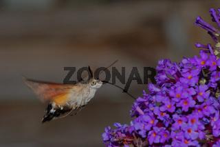 Taubenschwänzchen Macroglossum stellatarum