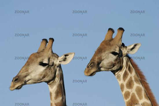 South African giraffe, Giraffa camelopardalis giraffa, South Africa