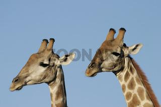 Giraffe, Südafrika, South Africa