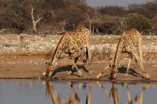 Giraffen (Giraffa camelopardalis)