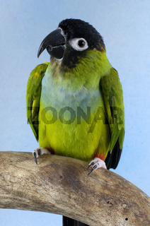 Nanday Conure, Nandayus nenday, Nandaysittich, sittiche, homepets, ziervoegel, ziervogel, sittiche, petbirds, bird photos, vogelfotos, haustierfotos, pet photos
