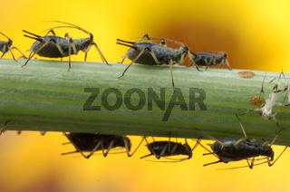 Cootie, flea, louse | Rosenblattlaus