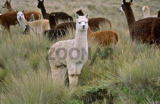 Alpaka, Lama pacos, Ecuador, Südamerika