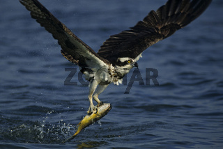 fischadler, pandion haliaetus, osprey, fishhawk, seahawk or fish eagle