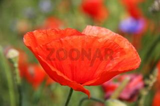 Blumen - Mohn 2
