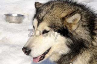 Alaskan Malamute Schlittenhund