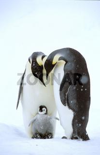 Emperor penguin - Kaiserpinguin - Aptenodytes forsteri,