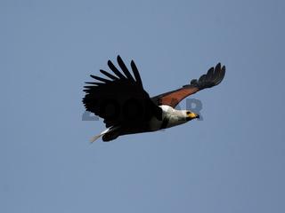 Schreiseeadler (Haliaeetus vocifer); African Fish Eagle