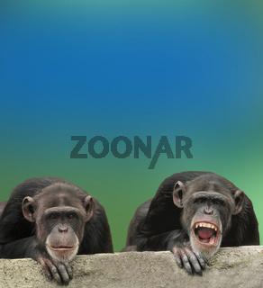 schimpanse, gemeiner schimpanse, gewoehnlicher schimpanse, pan troglodytes, common chimpanzee