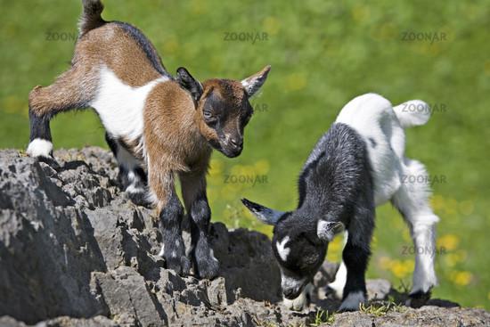 Zwei kleine Ziegen / Two kids