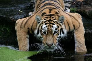 Amurtiger, Sibirischer Tiger, Panthera tigris altaica, Siberian Tiger