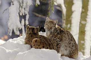 Luchse im Schnee