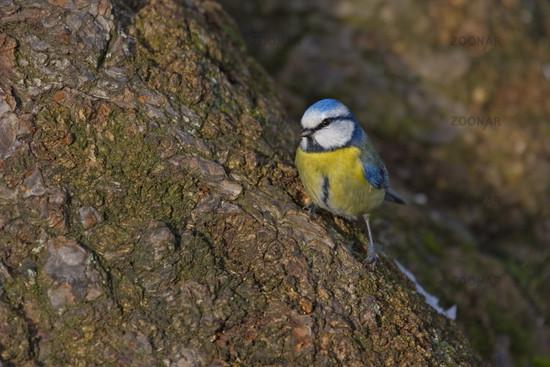 Bluetit Parus caeruleus