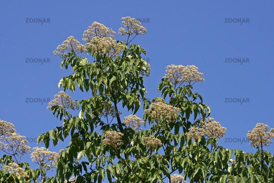 Euodia hupehensis, Tetradium hupehensis, Tetradium daniellii, bee tree
