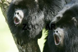 schwarzer bruellaffe, alouatta caraya, black howler