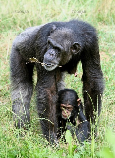 chimpanzee with young