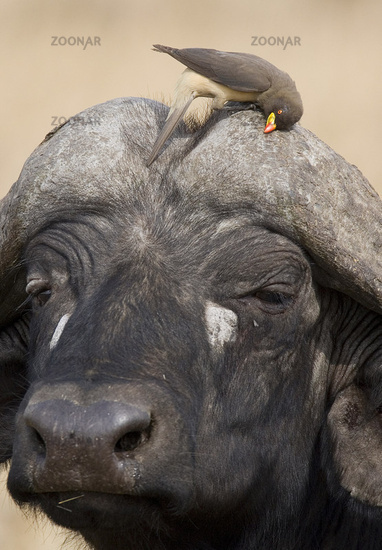 buphagus africanus, yellow-billed oxpecker