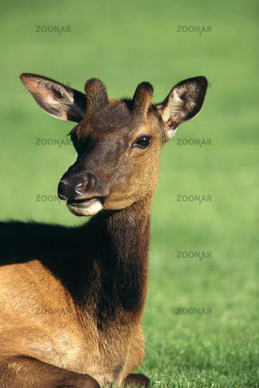 Wapiti, Cervus elaphus, Elk, junger Bulle, young bull