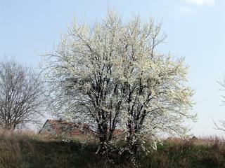 Kirschpflaume, Prunus cerasifera, Cherry Plum