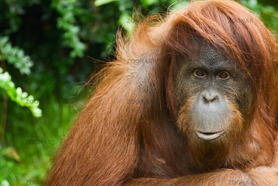 Sumatran Orangutan close up