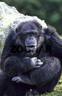 Schimpanse, Chimpanzee, Pan troglodytes,