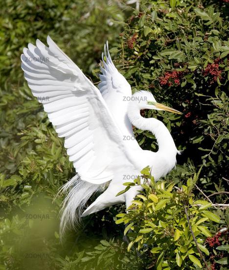 Great White Heron, (Casmerodius albus)
