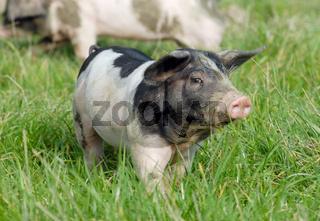 Schwaebisch-Haellisches Landschwein, Swabian Pig, German Breed