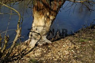 Biber, Nagespuren (Castor fiber) Beaver, Gnawing traces