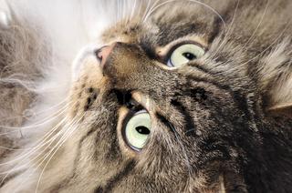sibierische Waldkatze