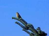 Fink auf einem Zweig - finch on an tree